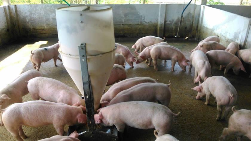 Brasil registra surto de peste suína no Ceará com nove animais infectados
