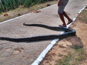 Cobra sucuri de 5 metros e avistada por populares em Parnaíba